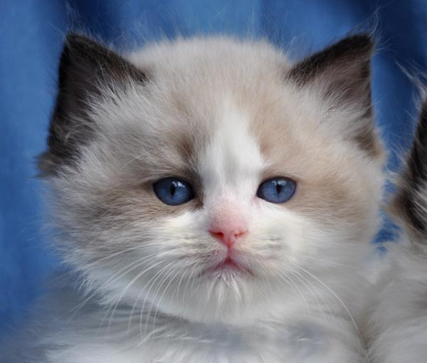Blue Gem Ragdoll Cats Photo Gallery Ohio