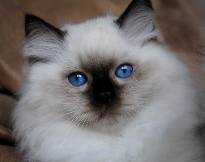 Seal point mitted Ragd...