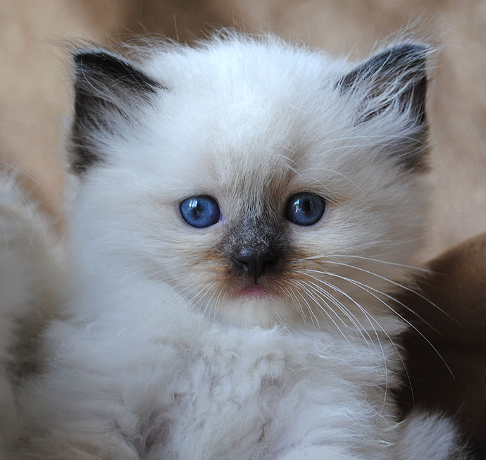 pin baby ragdoll kittens ragdoll kitten for sale in on