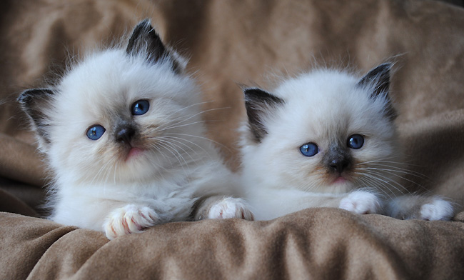 ragdoll cat breeders   ragdoll kittens for sale in ohio cincinnati