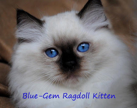 Ragdoll cat breeders - Ragdoll kittens for Sale in Ohio