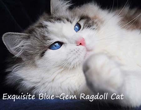 Ragdoll cat breeders - Ragdoll kittens for Sale in Ohio